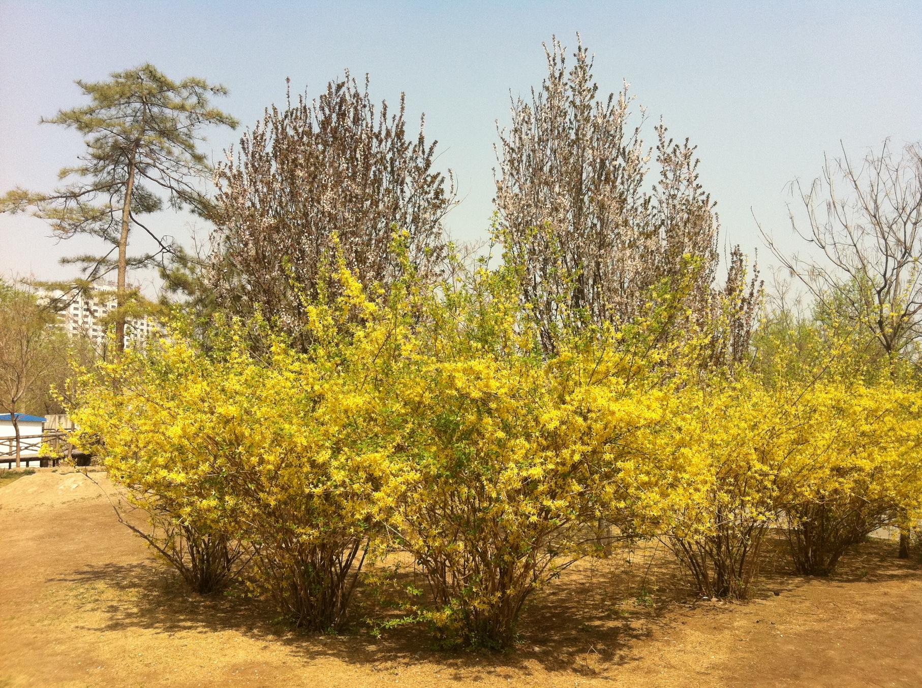 连翘-灌木-临沂动植物园