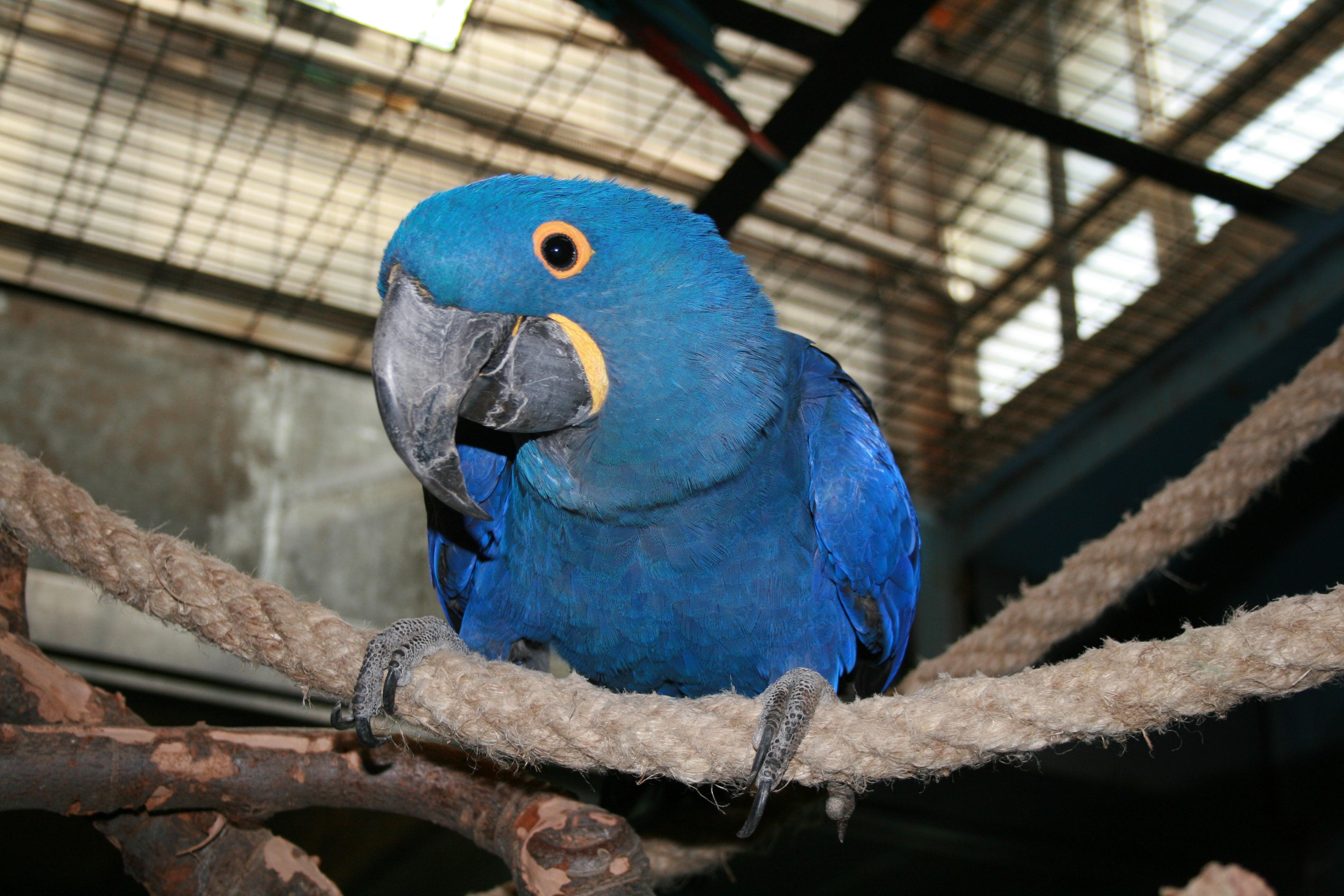 紫蓝金刚鹦鹉-鸟纲-临沂动植物园